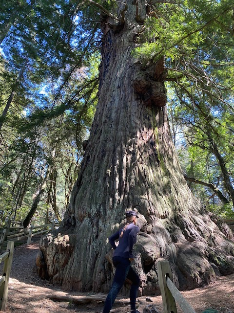oldest tree in California
